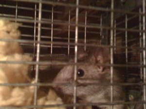 Rat Live Trapped